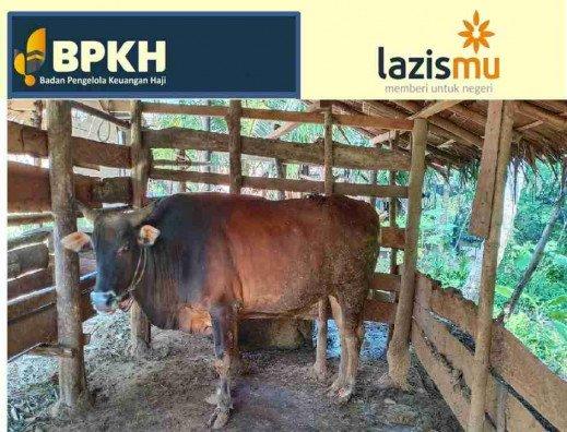 lazismu-bpkh-salurkan-6-sapi-di-gorontalo